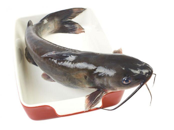 best catfish rig