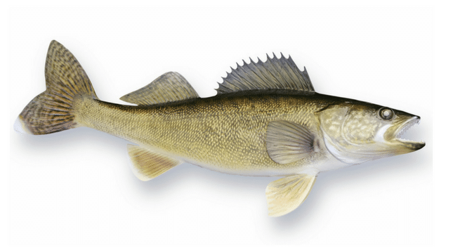 How deep do you fish for walleye