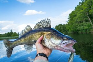 How to Catch a Walleye