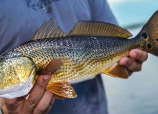 how to catch a redfish