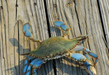best blue crab bait
