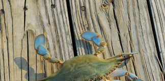 best blue crab bait